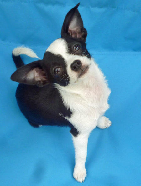 Sir Alton the Chihuahua Pictures 967796