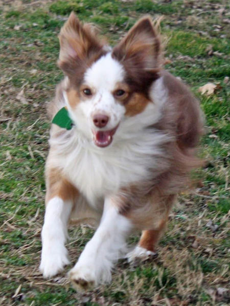 Siva the Australian Shepherd Pictures 966002