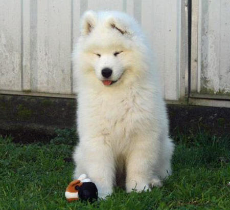 Skeeter the Samoyed Pictures 1058231