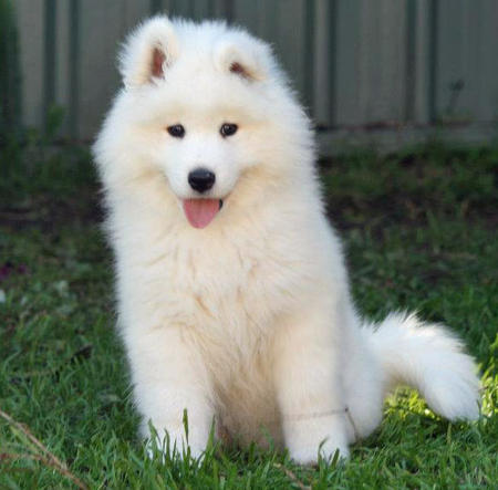 Skeeter the Samoyed Pictures 1058232