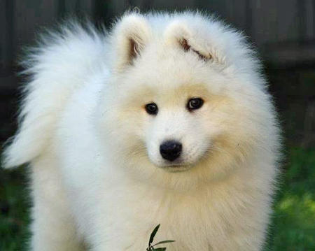Skeeter the Samoyed Pictures 1058233