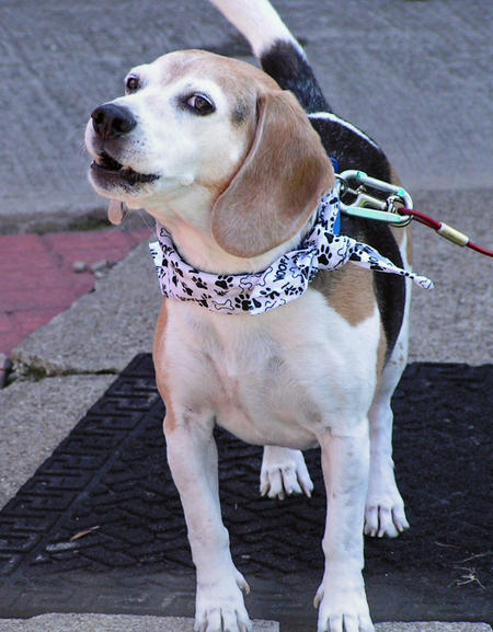 Skip the Beagle Pictures 429359