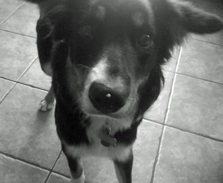 Skye the Border Collie Pictures 945767