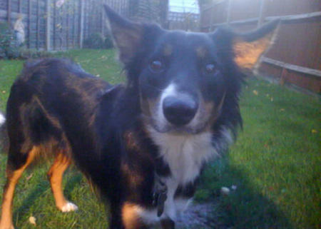 Skye the Border Collie Pictures 945763
