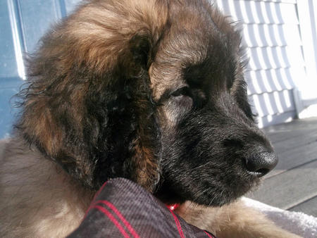 Skye the Leonberger Pictures 1028516