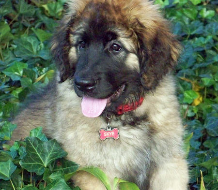 Skye the Leonberger Pictures 1028519