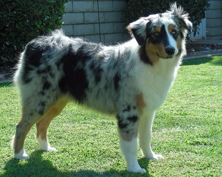 Skyler the Australian Shepherd  Pictures 841614