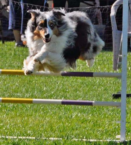 Skyler the Australian Shepherd  Pictures 841615