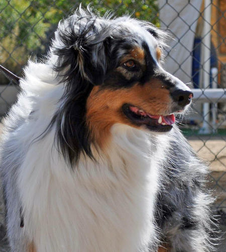 Skyler the Australian Shepherd  Pictures 841616