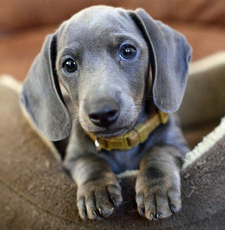 Slinky the Dachshund Pictures 449800