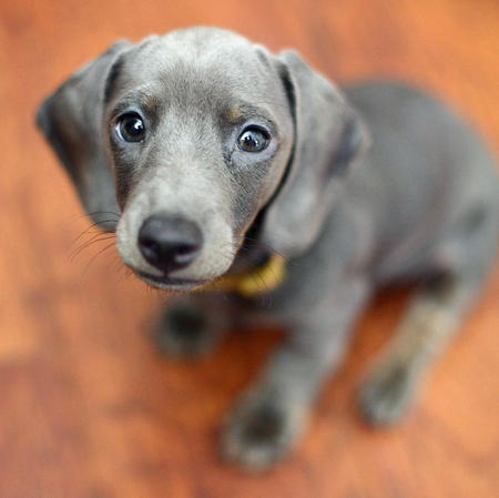 Slinky the Dachshund Pictures 630237