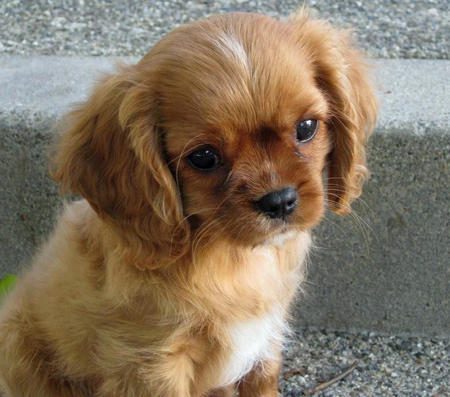 Sneakers the Cavalier King Charles Spaniel Pictures 1028167