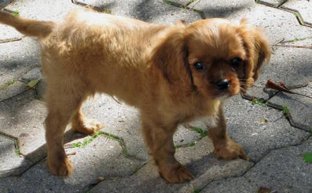 Sneakers the Cavalier King Charles Spaniel Pictures 1028168