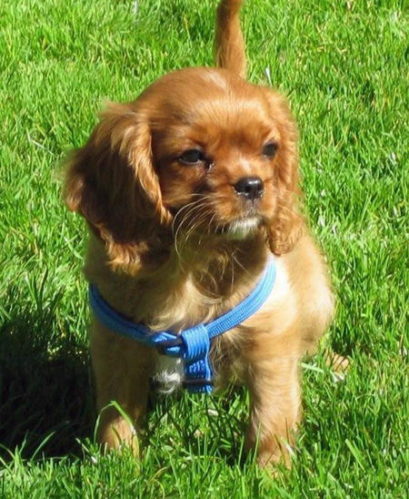 Sneakers the Cavalier King Charles Spaniel Pictures 1028170
