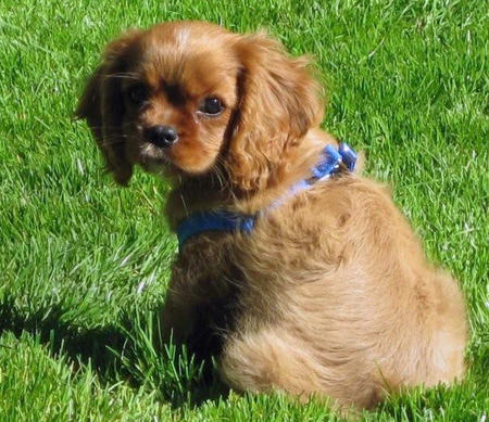 Sneakers the Cavalier King Charles Spaniel Pictures 1028171