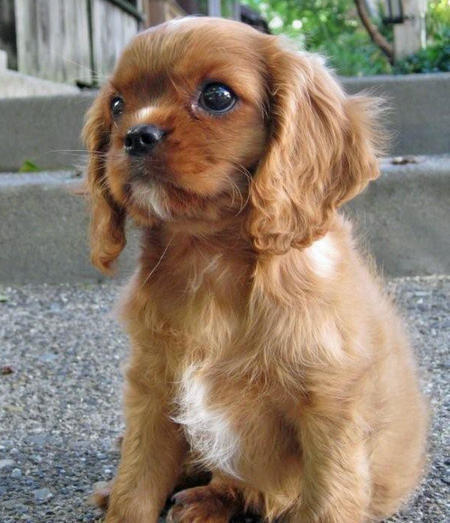 Sneakers the Cavalier King Charles Spaniel Pictures 1028172