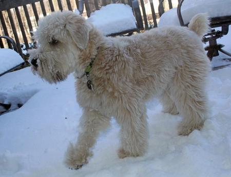 Sniglet the Soft Coated Wheaten Terrier Pictures 950972