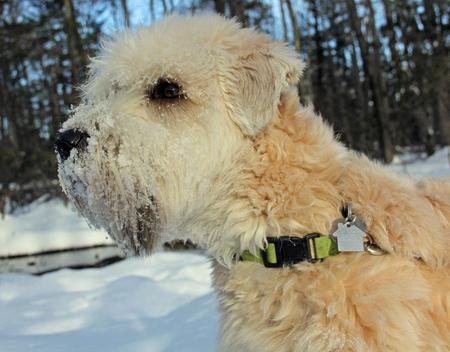 Sniglet the Soft Coated Wheaten Terrier Pictures 950974