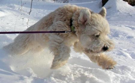 Sniglet the Soft Coated Wheaten Terrier Pictures 950975