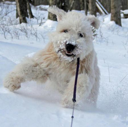 Sniglet the Soft Coated Wheaten Terrier Pictures 950976