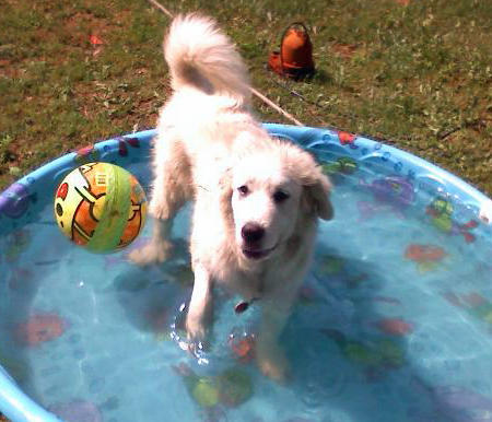 Snowball the Great Pyrenees Pictures 911751