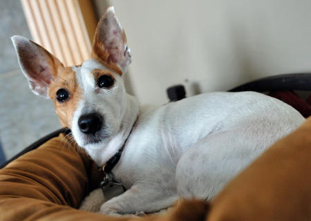 Snowbie the Jack Russell Terrier Pictures 783786