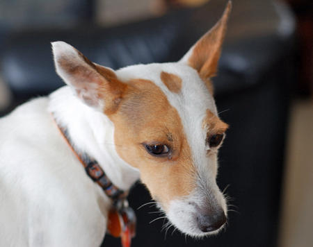 Snowbie the Jack Russell Terrier Pictures 783795