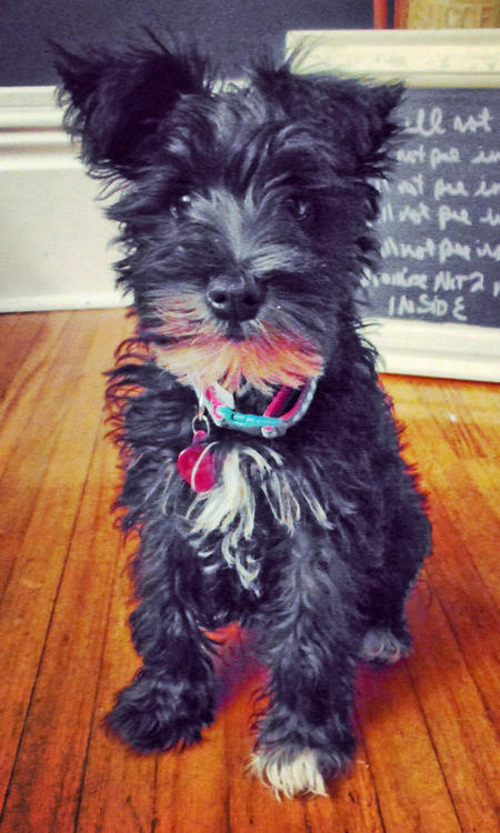 SoHo the Miniature Schnauzer Pictures 1036597