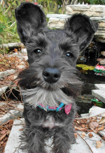 SoHo the Miniature Schnauzer Pictures 1036598