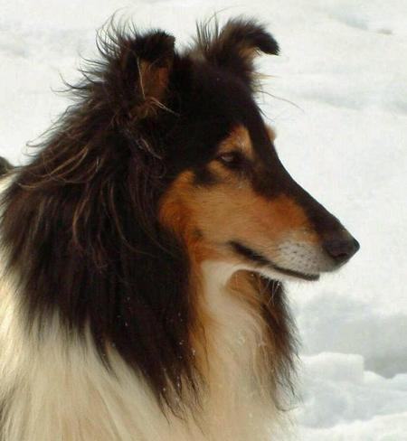 Sona the Collie Pictures 561682