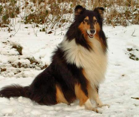 Sona the Collie Pictures 561683