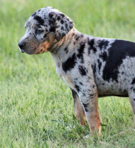 Sookie the Catahoula Leopard Dog Pictures 664723