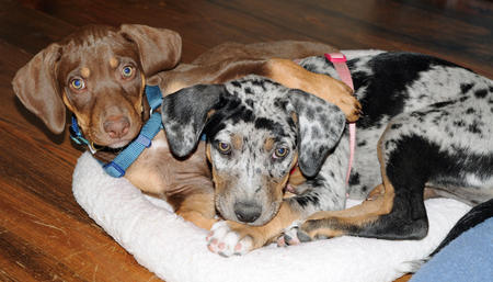 Sookie the Catahoula Leopard Dog Pictures 664725