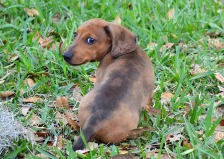 Sookie the Dachshund Pictures 957390