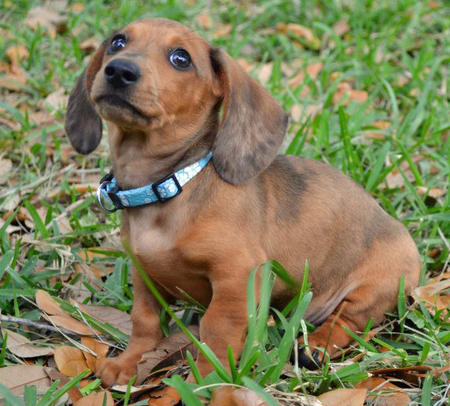 Sookie the Dachshund Pictures 957392