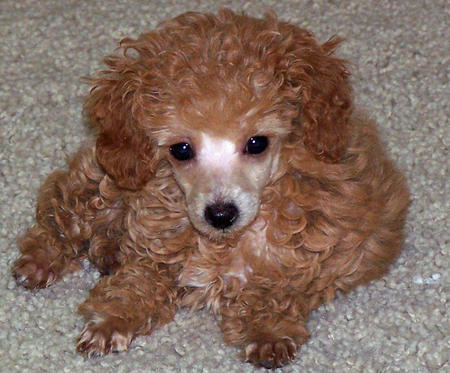Sophia the Poodle Pictures 502250