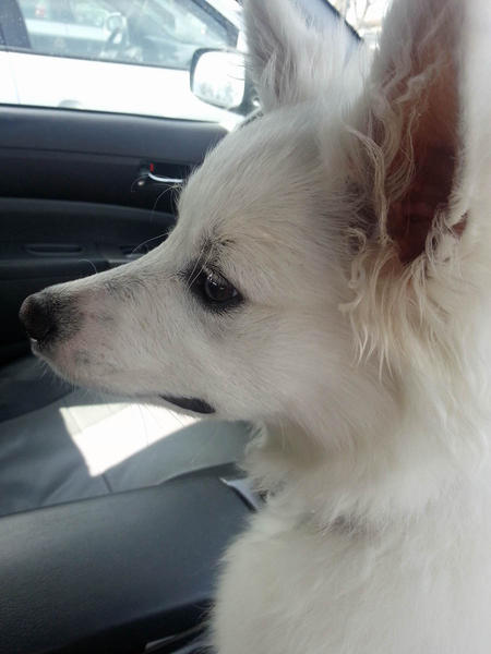 Sophie the American Eskimo Dog Pictures 965845