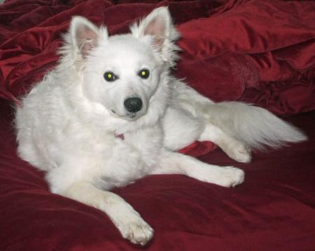 Sophie the American Eskimo Dog Pictures 965847