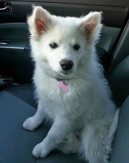 Sophie the American Eskimo Dog Pictures 965844