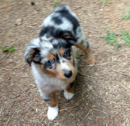 Sophie the Australian Shepherd Pictures 1017292