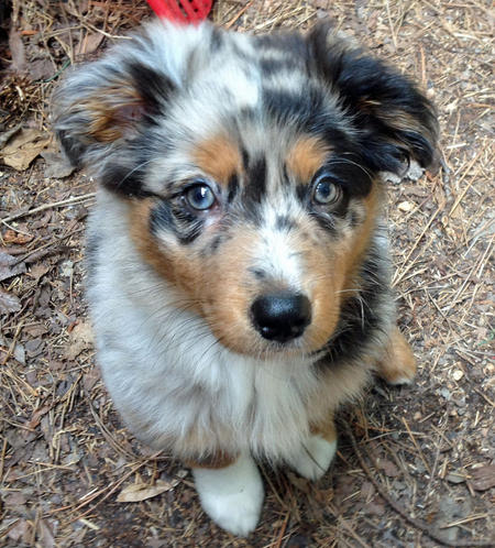 Sophie the Australian Shepherd Pictures 1017293
