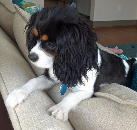 Sophie the Cavalier King Charles Spaniel Pictures 982633