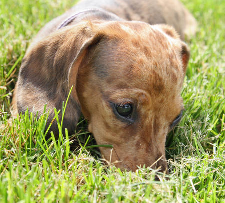 Sophie the Dachshund Pictures 568548