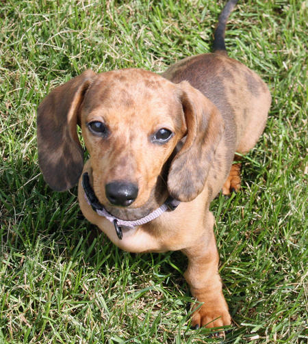 Sophie the Dachshund Pictures 568549