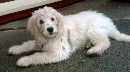 Sophie the Goldendoodle Pictures 540583