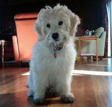 Sophie the Goldendoodle Pictures 540586