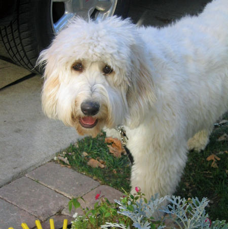 Sophie the Goldendoodle Pictures 540587