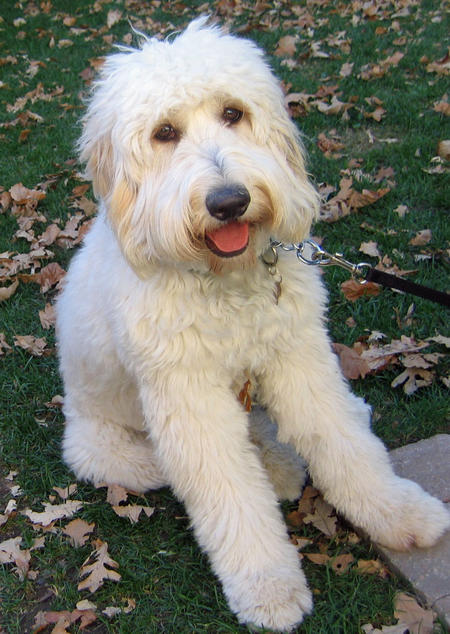 Sophie the Goldendoodle Pictures 540582