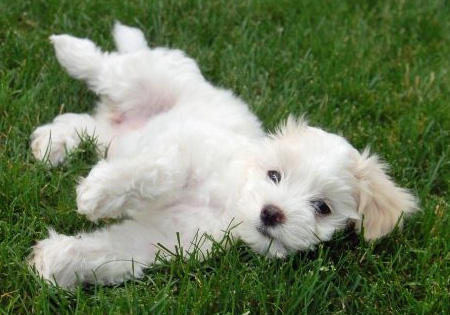 Sophie the Havanese Pictures 962408