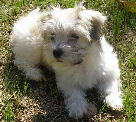 Sophie the Havanese Pictures 678670